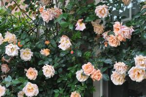 咲き誇るバラDSC_0174