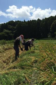 近隣の田んぼを借りて米作り