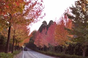 メープルの並木道