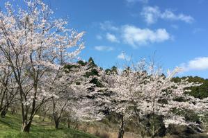 東2丁目の貯水池の桜