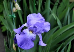 ジャ-マンアイリス紫