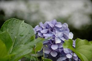 ブログその2紫陽花